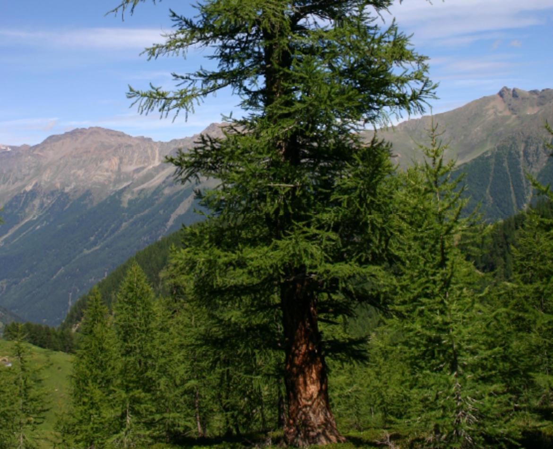 L 39 antico bosco di larice in val comasine e le sue miniere for Le pigne dei larici